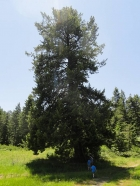 Huge fir tree in a meadow below the summit.