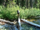 JJ crossing a log during the bushwhack down the Fishhook Creek drainage.
