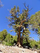 Ancient White Bark Pine I passed on the way down.