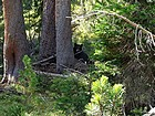 This bear was only about twenty feet from the trail when we passed by.