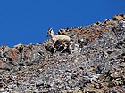 Close up of a bighorn ewe on the ridge.