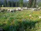 Sharing the trail with a herd of sheep.