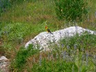 Western Tanager on a rock by the trail.