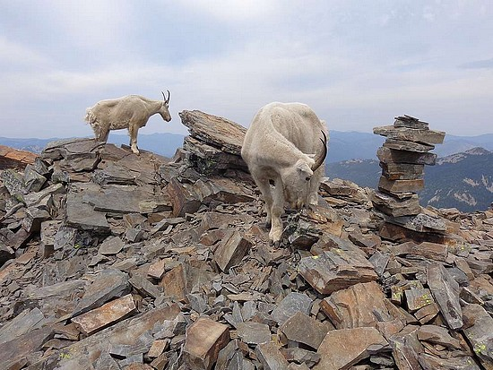Mountain Goats on the summit of Scotchman Peak.