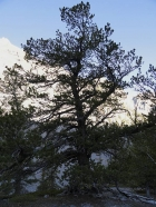 Huge whitebark pine tree in Hell Canyon.