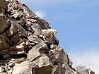 Mountain Goat posing on the southeast ridge of Peak 11272'.