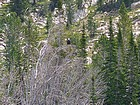This Bald Eagle landed here after flying by us at the upper Born Lake.