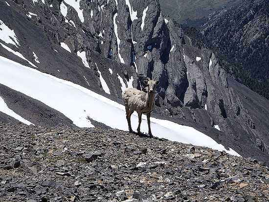 Bighorn Ewe on the summit of Mount Breitenbach.